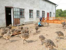 Healthy ostrich chicks and by product for sale