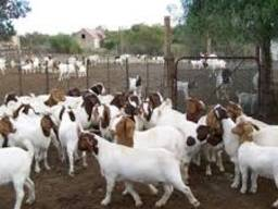 Live Whole Blood Boer Goats / 100% Purebred Mature Boar Goat
