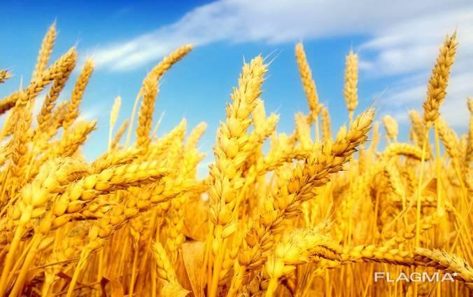 Пшеница, 2-й, 3-й класс, FOB Бердянск.